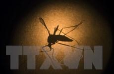 WHO: Bệnh sốt vàng do muỗi đốt với tỷ lệ tử vong đến 50%