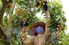 """Làm rõ về việc ngộ độc trực tiếp do ăn quả vải: """"Lệ chi"""" được minh oan"""