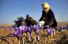 Nhụy hoa nghệ tây: Dược liệu đa tác dụng của người Iran