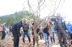 103 cây mai vàng trước mộ Đại tướng Võ Nguyên Giáp