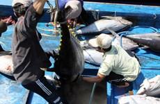 Ngư dân Phú Yên lại được mùa cá ngừ đại dương
