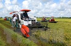 Năng suất lúa Hè Thu tại Cần Thơ tăng vượt mức dự kiến