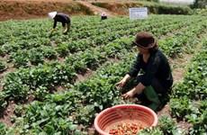 Hấp dẫn mô hình du lịch vườn dâu tây tự tay thu hoạch tại Đà Lạt