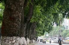 Hà Nội hạn chế tối đa chặt hạ cây cổ thụ nơi tuyến đường sắt đi qua