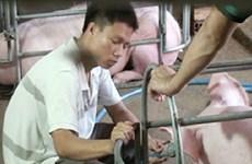 Phạt nặng cơ sở bơm nước vào bụng lợn để tăng trọng lượng