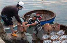 Kiên Giang: Được mùa cá cơm, vui cả ngư dân lẫn nhà sản xuất