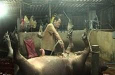 Mức phạt bơm nước vào lợn để tăng trọng lượng không đủ sức răn đe