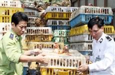 Quảng Trị: Bắt gần 1 tấn gà nhập lậu từ Lào về Việt Nam