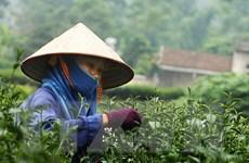 """Lễ hội """"Hương sắc Trà Xuân"""" tôn vinh nghề trồng chè truyền thống"""