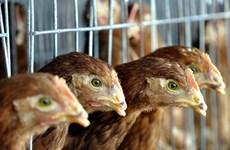 Phát hiện virus cúm gia cầm nguy hiểm H7N7 tại Hà Lan