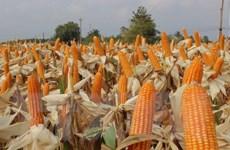 """Cây trồng biến đổi gen không phải là """"chìa khóa vàng"""" cho nông nghiệp"""