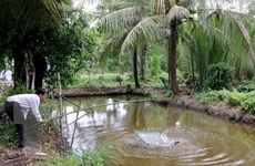 Cà Mau: Giá cá bống tượng giảm, người nuôi mất hàng chục tỷ đồng