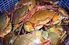 Giá cua biển giảm mạnh, người nuôi thất thu hơn 30 tỷ đồng