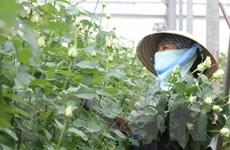 Hoa hồng Đà Lạt tăng giá gấp 3 lần dịp kỷ niệm ngày Phụ nữ Việt Nam