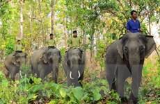 Chủ động ngăn chặn tình trạng xung đột giữa voi rừng với voi nhà