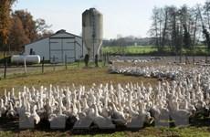 Pháp đóng cửa nhiều trang trại chăn nuôi vì dịch cúm gia cầm