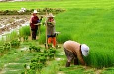 Thái Lan giảm mạnh diện tích trồng lúa vụ Hè Thu 2016