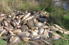 Hàng nghìn tấn cá chép châu Âu chết trên sông ở Australia