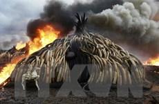 Sân bay thủ đô Kenya đứng đầu thế giới về số vụ bắt giữ ngà voi