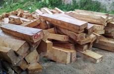 Khởi tố vụ án khai thác trái phép lượng lớn gỗ pơmu ở Quảng Nam