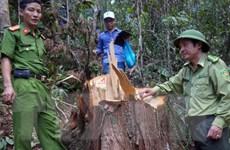 Vụ phá rừng Pơmu: Đình chỉ Chi cục trưởng Hải quan Nam Giang