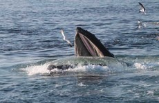 Đại Tây Dương chưa được chấp thuận là vùng bảo tồn cá voi