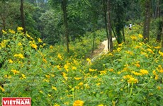 [Photo] Cùng mê đắm trong mùa hoa dã quỳ trên núi Tản