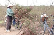 Thời tiết ấm khiến đào nở sớm, người trồng hoa lo mất Tết