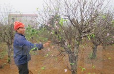 Ninh Bình: Làng đào phai Đông Sơn hối hả vào vụ Tết