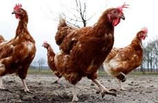 Bỉ phát hiện virus cúm gia cầm H5N8 tại vùng Tây Bắc