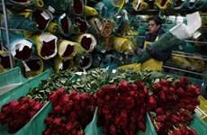 Colombia xuất khẩu 500 triệu cành hoa sang Mỹ trong dịp Valentine