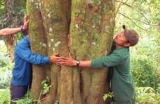 Kỳ bí rừng quế cổ thụ trên đỉnh núi Ngọc Linh hùng vĩ