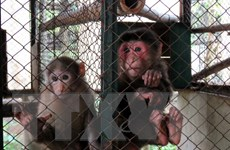 Giải cứu thành công 13 con khỉ bị nuôi nhốt thả về thiên nhiên