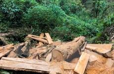 Đã kiểm soát hoạt động khai thác trái phép gỗ pơmu ở Điện Biên