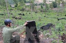 Ban Chỉ đạo Tây Nguyên giám sát công tác bảo vệ rừng ở Đắk Lắk