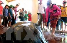Cá voi mang thai nặng hơn 1 tấn dạt vào bờ biển Phú Yên