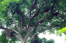 """Độc đáo """"cây thần"""" và luật tục bảo vệ rừng của người Thái ở Điện Biên"""