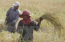 Chính phủ Campuchia lên kế hoạch đẩy mạnh xuất khẩu gạo