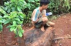 Đắk Lắk: Truy tìm các đối tượng chặt phá cây thủy tùng trên 500 tuổi