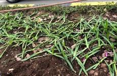 Nhiều cây xanh, thảm cỏ trên tuyến đường cửa ngõ Thủ đô bị xâm hại