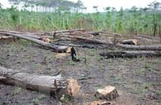Vụ phá rừng thông ven Quốc lộ 28: Sai phạm kéo dài, xử lý chậm trễ