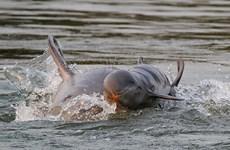 Cá heo Irrawaddy ở Campuchia thoát nguy cơ tuyệt chủng