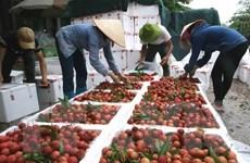 Mỗi ngày có hơn 1.000 tấn vải thiều Bắc Giang được tiêu thụ