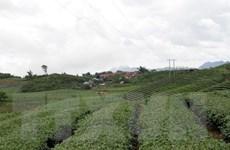 Trên 1.200ha chè tại Thái Nguyên đang bị nhiễm sâu bệnh