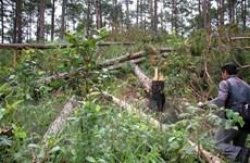 Vụ phá rừng thông ở Lâm Đồng: Kiểm điểm trách nhiệm đơn vị liên quan