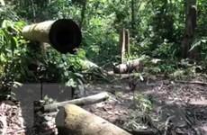 Bất chấp lệnh đóng, rừng tự nhiên Bình Phước vẫn 'chảy máu'
