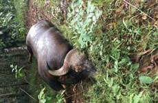 Xác định nguyên nhân cá thể bò tót chết trong khu bảo tồn ở Đồng Nai