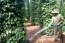 Việt Nam không có chủ trương tăng diện tích trồng cây hồ tiêu