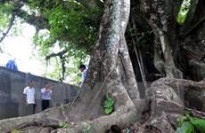 Công nhận thêm 6 cây cổ thụ vào danh sách Cây Di sản Việt Nam
