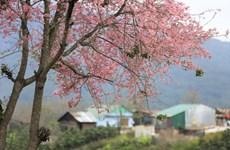 Rừng Mai anh đào dưới chân núi Langbiang sẽ biến thành nương rẫy?